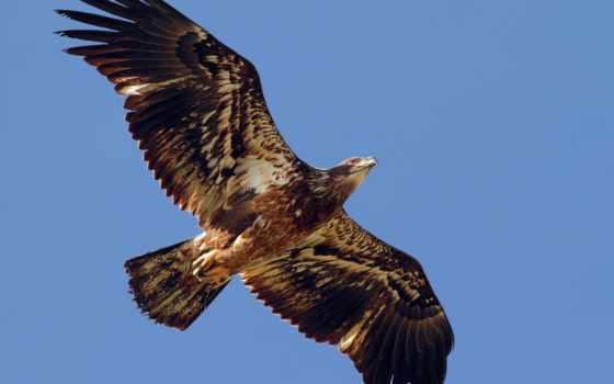 орел в полете Фон № 46145 разрешение 1920x1200