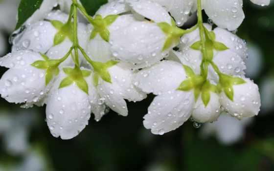 цветы, капли, роса, воды, росы, макро,