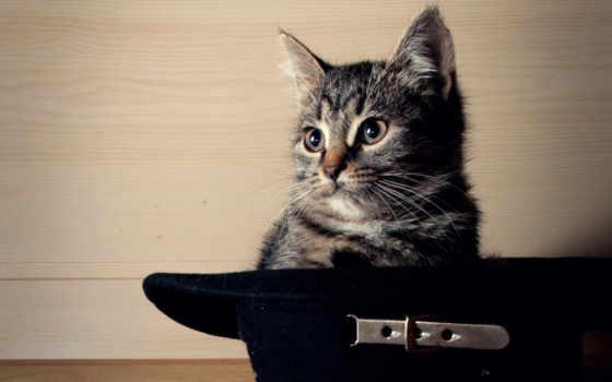 кот, шляпе, котенок