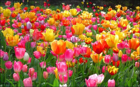 тюльпаны, тюльпан, семян, tulips, красивые, посадка, условиях, домашних, live, тюльпанов,