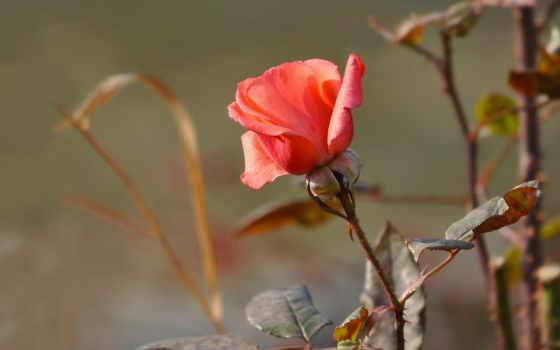 cvety, роза, природа, цветы, розы, шипы, листва, бутон, garden,
