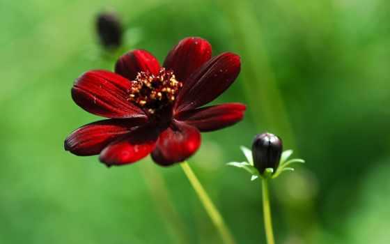 цветов, красивые, фотографий, cvety, red, комнатных, бордовый, ярких,