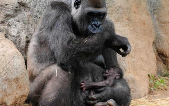 горилла, обезьяна, high