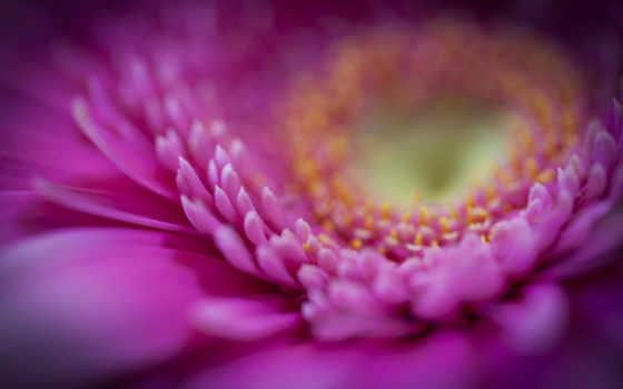 макро, цветы, лепестки, gerbera, video, капли, заголовка,