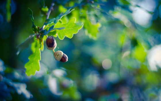 жёлуди, дерево, тарелочке, дуб, красивые, природа,