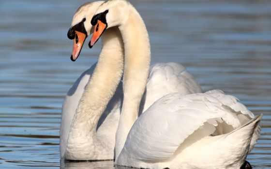 лебеди, лебединая, subscribe, loyalty, love, коллекцию, лебедь, яndex, подписчиков, коллекциях,
