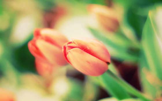 тюльпан, макро