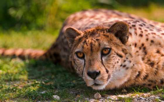 леопард Фон № 27522 разрешение 2560x1600