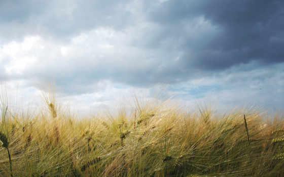 пшеница, поле, небо