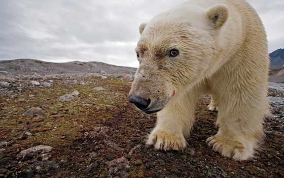 медведь, north, white