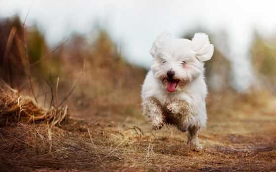болонка, собака, французская, породы, радостно, бежит, dry, траве,