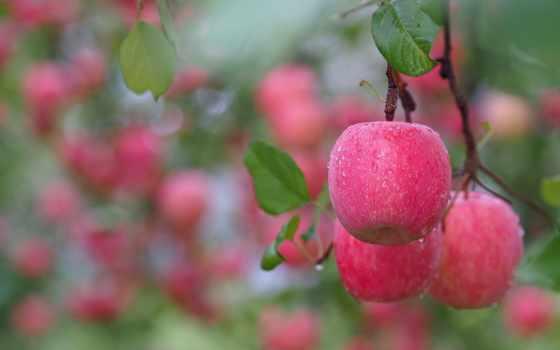 яблоки, branch, благо, листва, розовые, капли, waters, ветке, дождя, после,