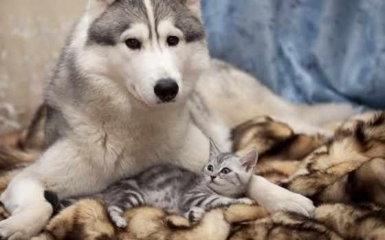 кот, собака, дружба, zhivotnye, забота, хаски, котенок, щенок, друзья,
