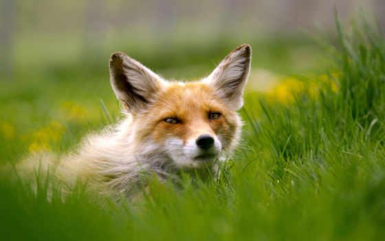 лис, красивые, клику, большой, animals, iveta,