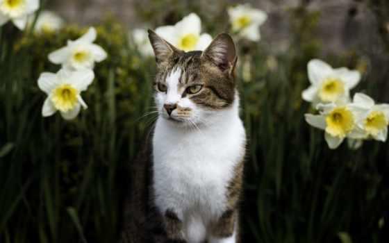 кот, нарциссы, puzzle, animal, cvety, весна, клумба,