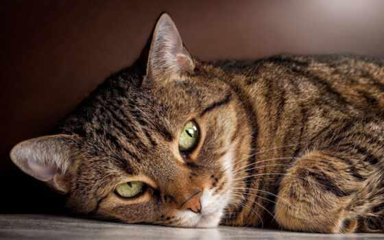 кот, порода, striped, окрас