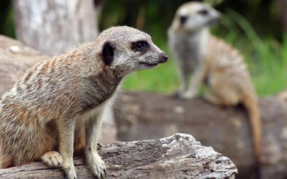 animal, назад, день, surikata, zhivotnye