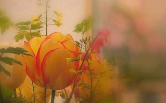 природа, тюльпан, con