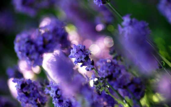 цветы, lavender, растительность