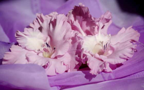цветы, гладиолусы, розовый