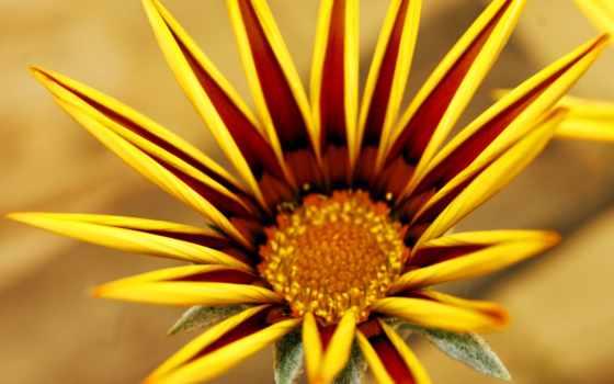 gazania, cvety, цветы, очарование, газания, картинка, flowers,