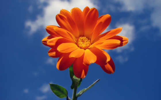цветок, небо, лето, облака, календула,