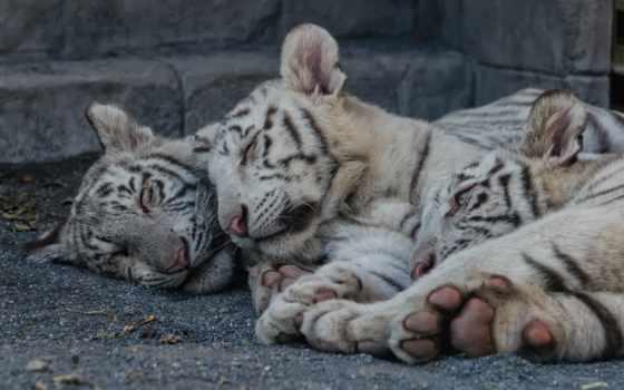 тигр, кошка, мир