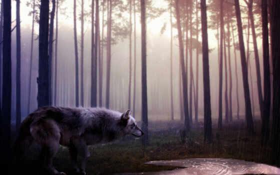 волк, wolves, ecran