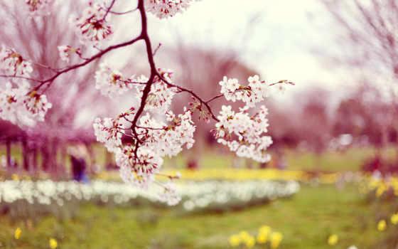 цветущая, абрикос, абрикоса, цветение, цветет, весна, весной, garden, desktop,