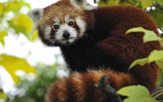 red, панда, pandas