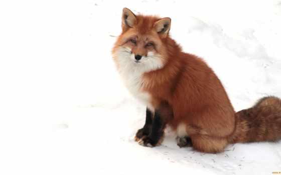 фокс, снег, лисы, winter, null, рыжая, морда, white, увеличить,