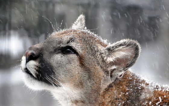 puma, cougar, гора, lion, profile, снег, whiskers, eyes, хищник,