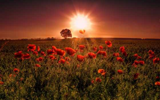 poppy, resolution, high, red, cvety, free, закат, sun,