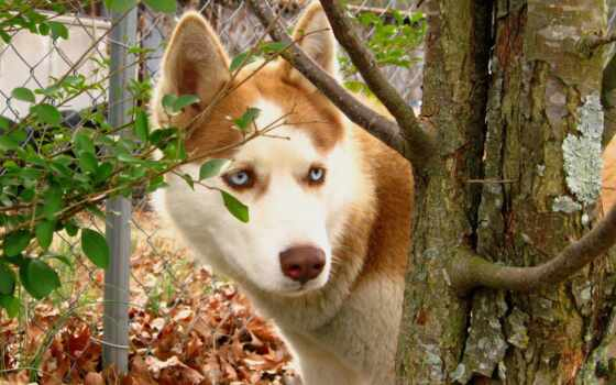 собака, хаски, картинка