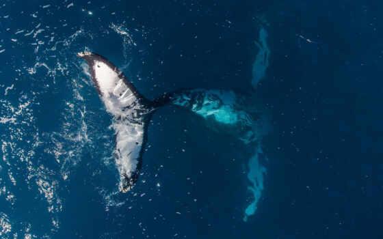 кит, humpback, animal, море, ocean, see, underwater, social