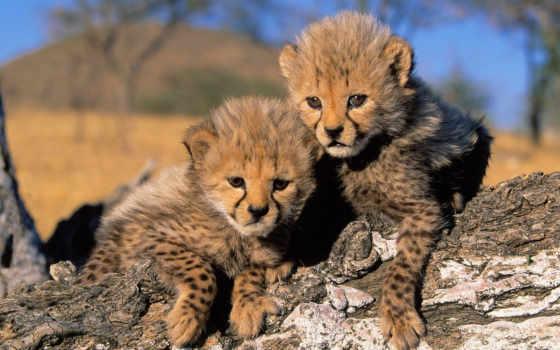 cheetah, filhotes