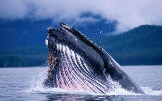 кит, синий, животное