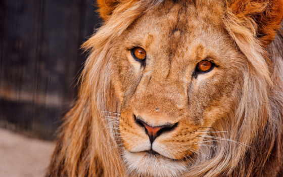 морда, lion, грива