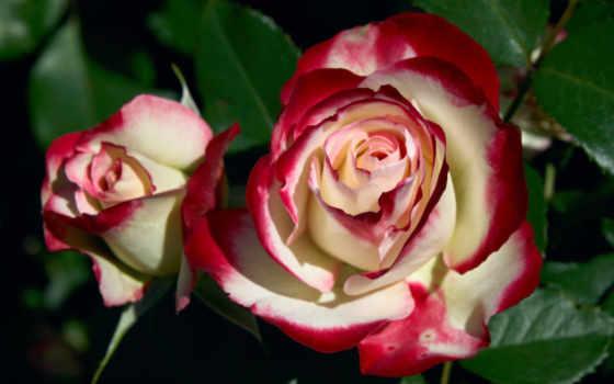 розы, цветы, самым