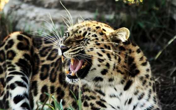 леопард, ухмылка, кот
