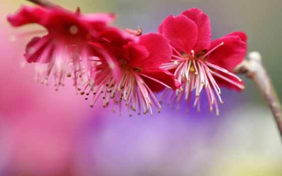 цветы, розовые, планом, крупным, весна, цветение, branch, широкоформатные, лепестки, дерево, вектор,