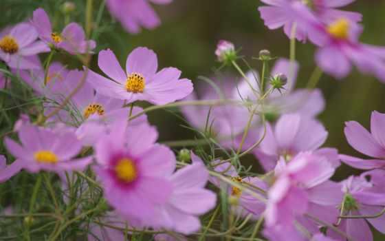 blumen, lila, осень, скоро, за, окнами, август, июнь, hintergrundbild, und,