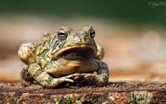 bullfrog, видов