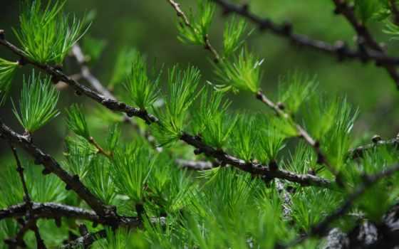 иголки, дерево