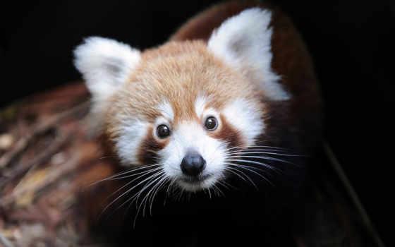 панда, малая, красная