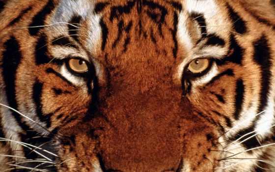 тигры, тигра, тигр