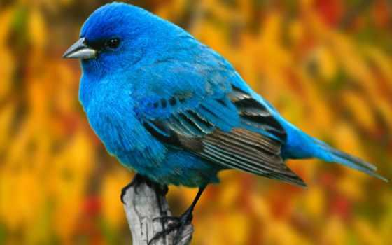 птицы, птица, синяя
