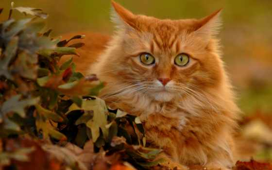 red, кот
