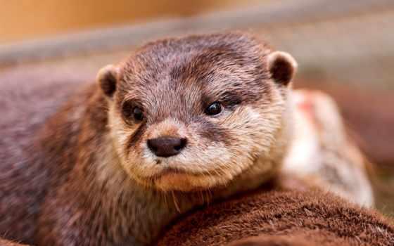 otter, water, выдры, мокрая, browse, морда, зверек, full, шерсть, трава,