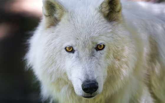 волк, fondos, pantalla